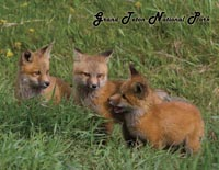 Fox Kits Postcard